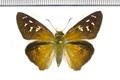 Augiades crinisus (Cramer, 1780)
