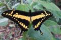 Papilio thoas thoas Linnaeus, 1771