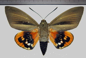Paysandisia archon (Burmeister, 1880)